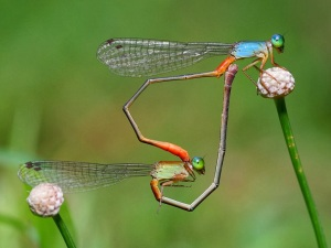 02.2014_damselflies-heart-shape