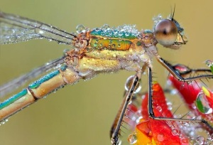 southernemeraldamselfly